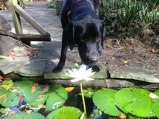 Coach leans into the lily to take a sniff.