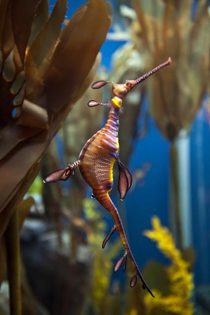 image0038 صور تنين البحر الكائن البحري الاكثر ندرة
