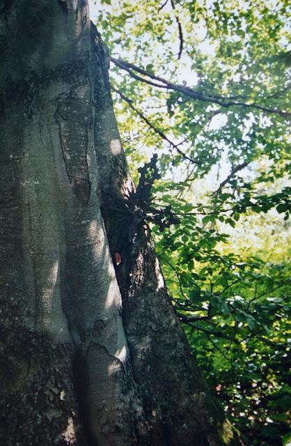 Zjawiska natury na Otrycie. Krzyż wrośnięty w drzewo