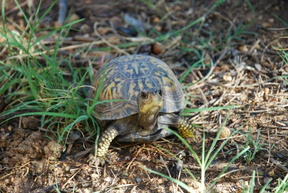 Terrapene carolina carolina - Eastern box turtle