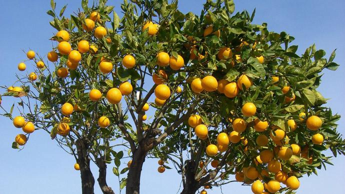 как растёт апельсин фото