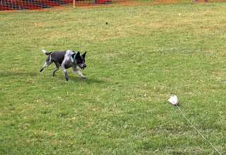Disc Dog Lark trying to be a lure course dog and having fun with it.