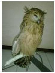Tanda-Tanda Burung Hantu Sakit
