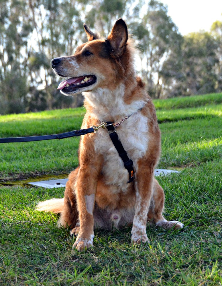 balance dog harness