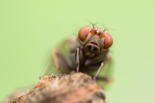 Makrofotografie fliegende wanzen oder verwanzte fliegen for Kleine fliegen blumen