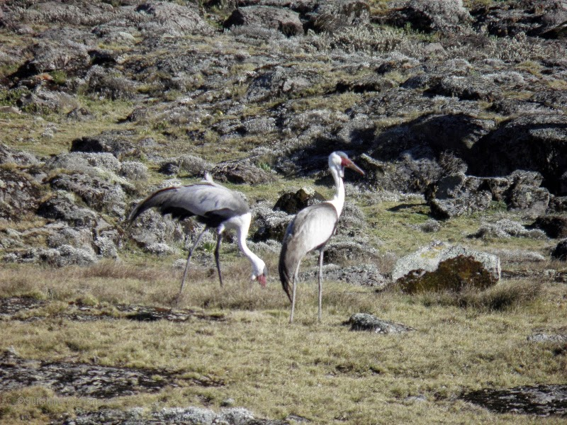 wattled crane (Bugeranus carunculatus) in the Bale Mountains Ethiopia