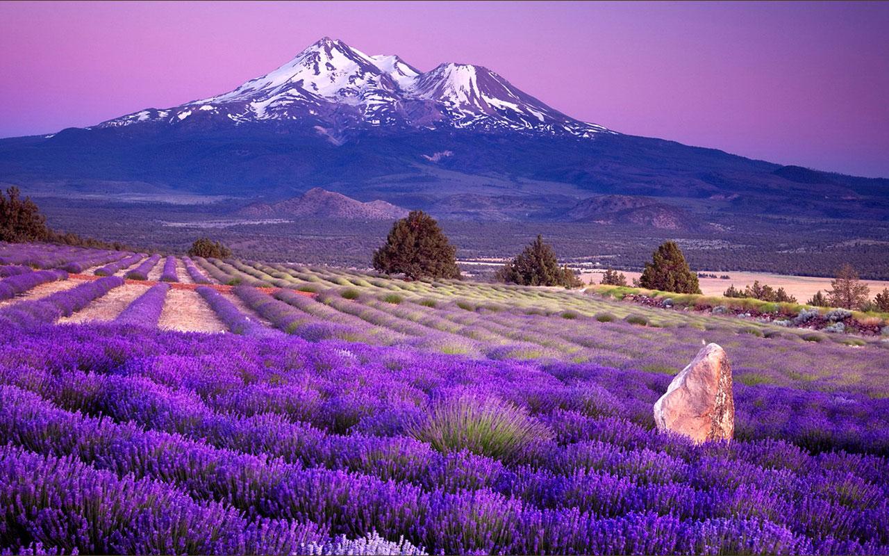 Banco de im genes campos de lavanda en francia lavender for Fotos de lavanda