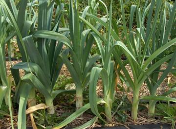 Orto per tutti orto sul balcone for Coltivare cipolle
