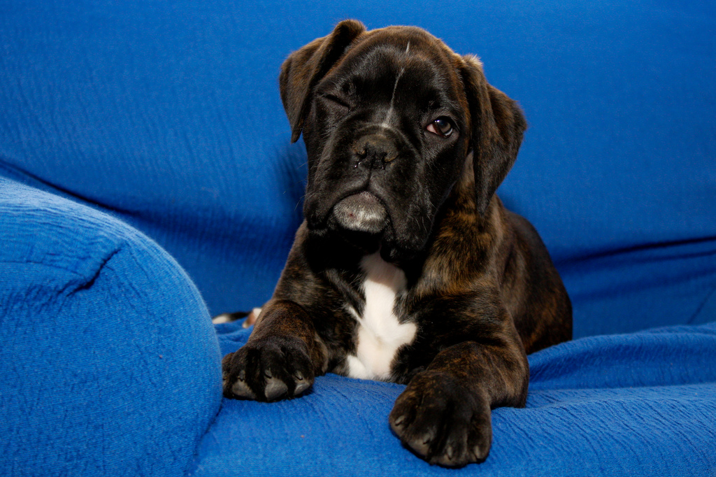 Download Boxer Black Adorable Dog - Boxer-cute-puppy-pictures-1  Photograph_117062  .jpg