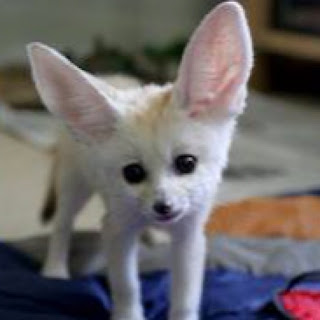 Cute Collection of Fennec Fox.