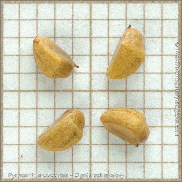Pyracantha coccinea seeds - Ognik szkarłatny nasiona
