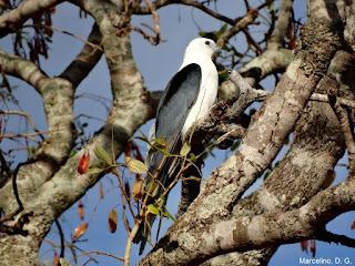 Gavião-tesoura Swallow-tailed Kite em área urbana. Foto: Marcelino, D. G.