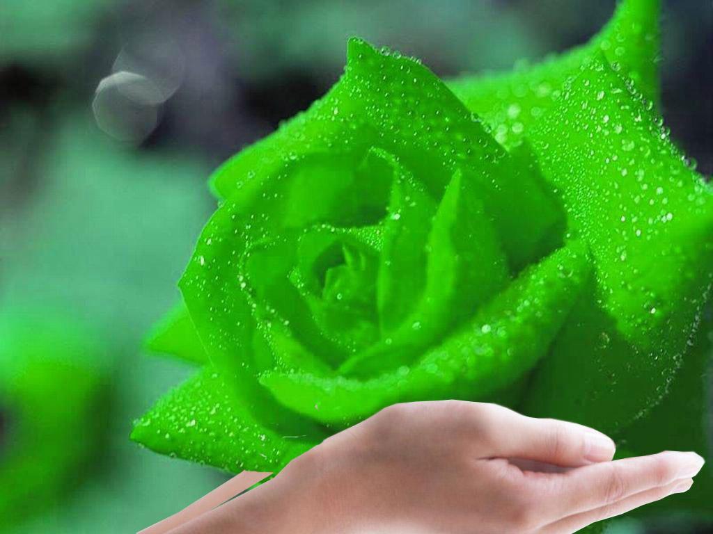 Light Green Roses Rose Wallpaper: Green ...