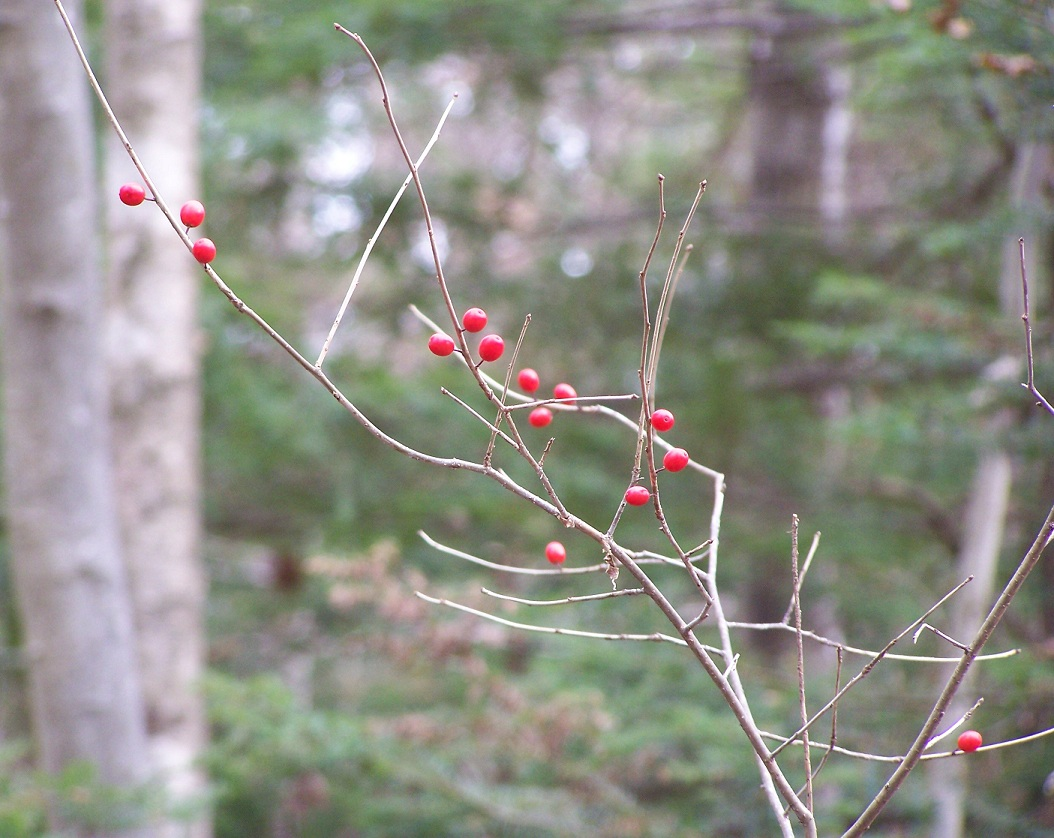 what grows in my yard winterberry ilex verticillata a