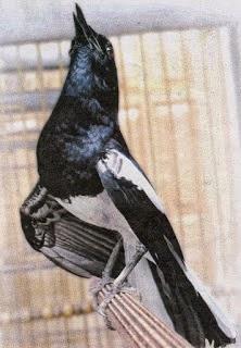 Gambar Cara Merawat Burung Kacer Jawa