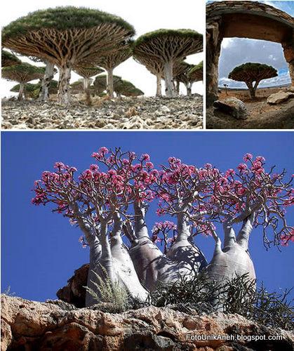 Cantiknya Kepulauan Suqutra Dengan Tanaman Langkanya