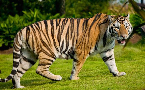 gambar harimau terbesar