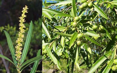 argentinian trees curupi Sapium haematospermum