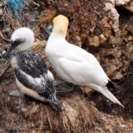 adult gannet with gannet chick