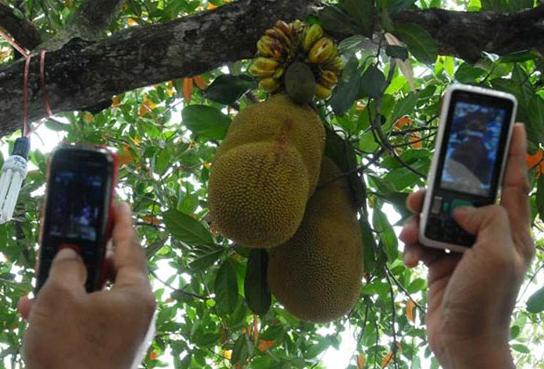 Pohon nangka aneh