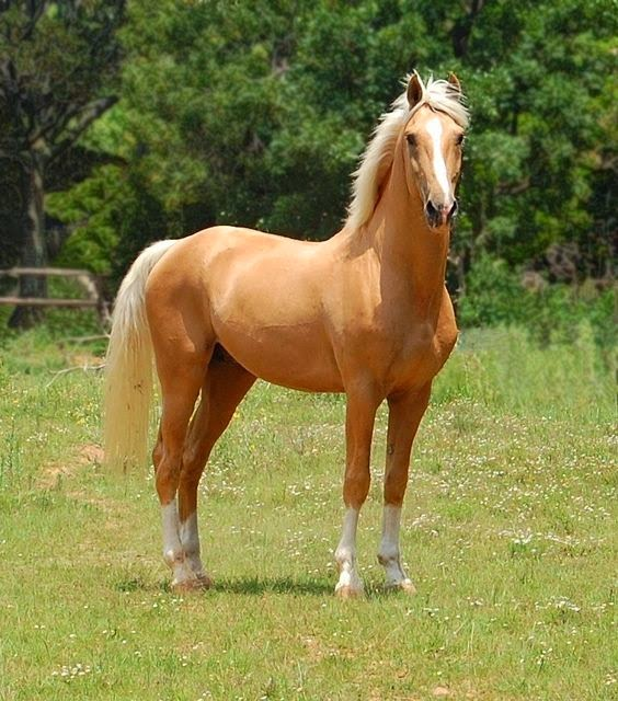 Rare Horse Breeds Palomino is Not a Horse Breed