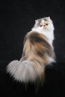 persian cat pets breed kitten infomation photo