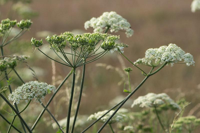 Berce commune for Plante odorante