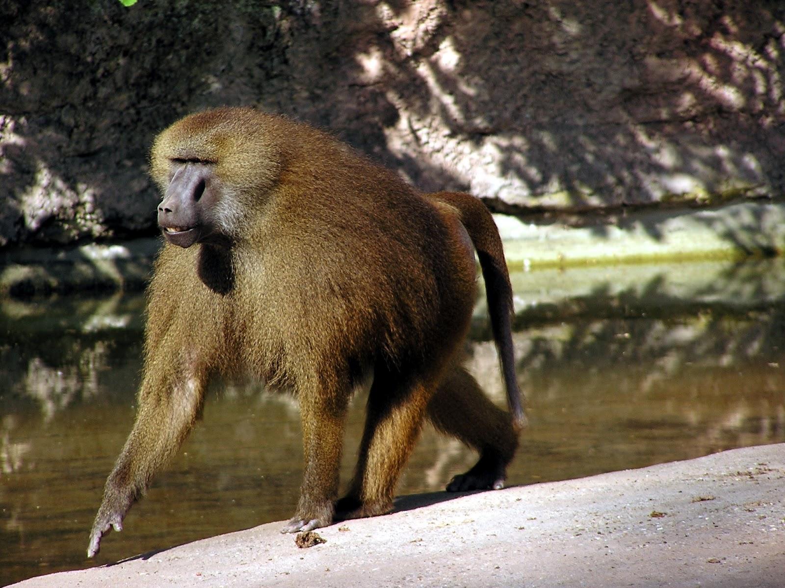 Baboon | The Biggest Animals Kingdom