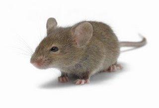 Fakta Tikus