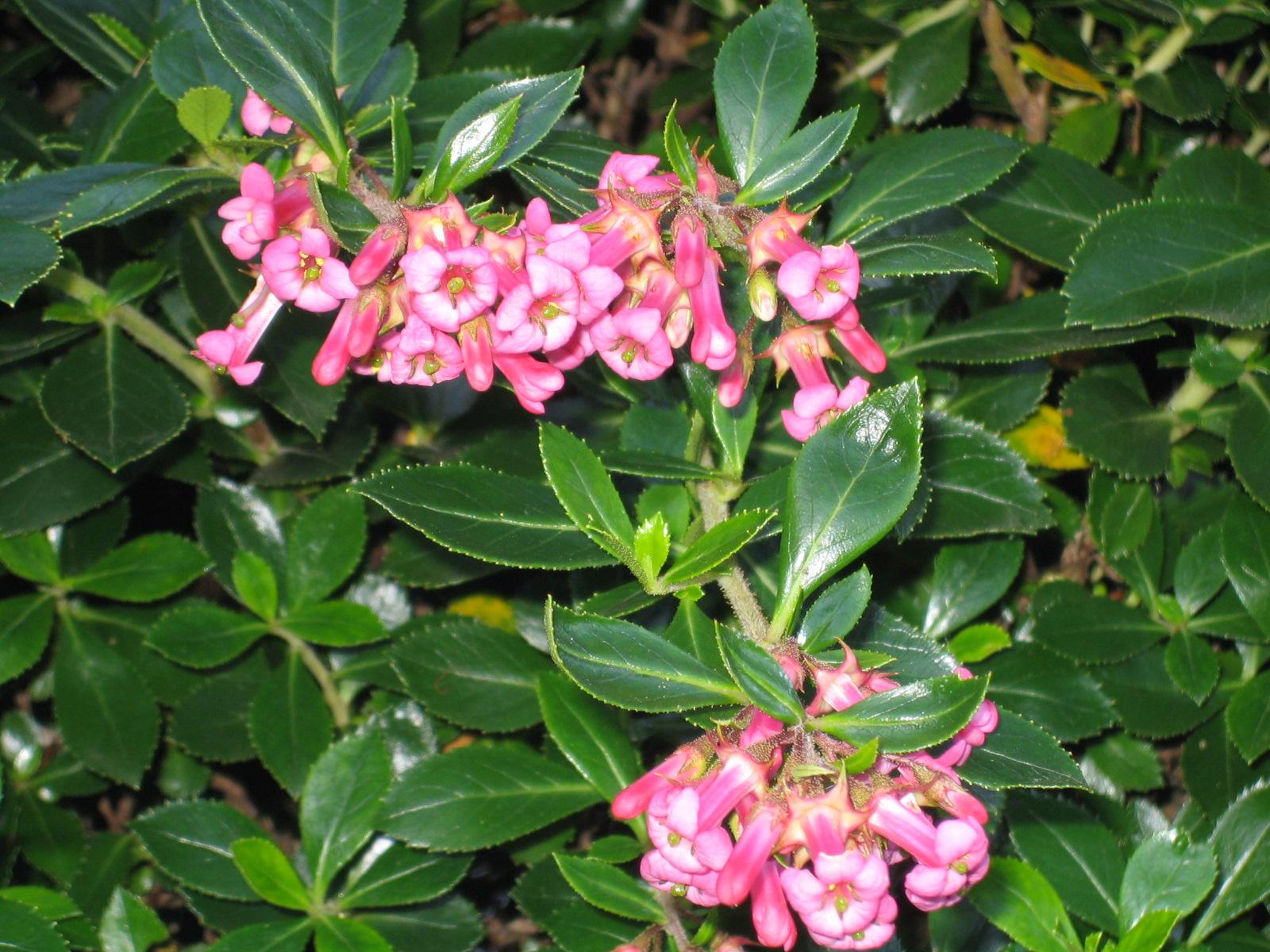 Nombre científico o latino: Escallonia rubra. Nombre común o vulgar