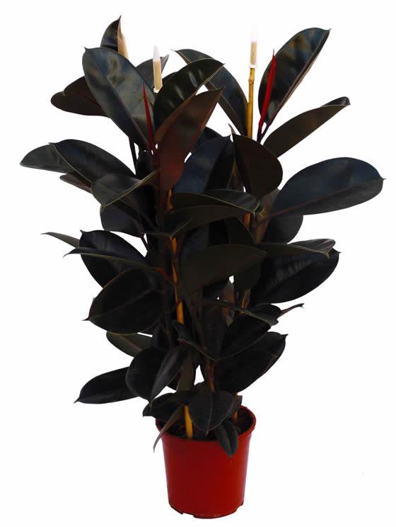 Detodounpoco marzo 2012 - Ficus elastica cuidados ...