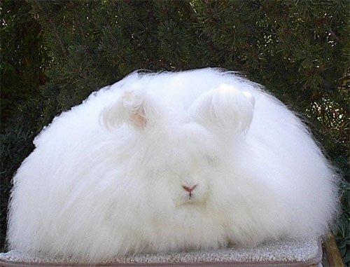 مطلوب  Angora+rabbit+5