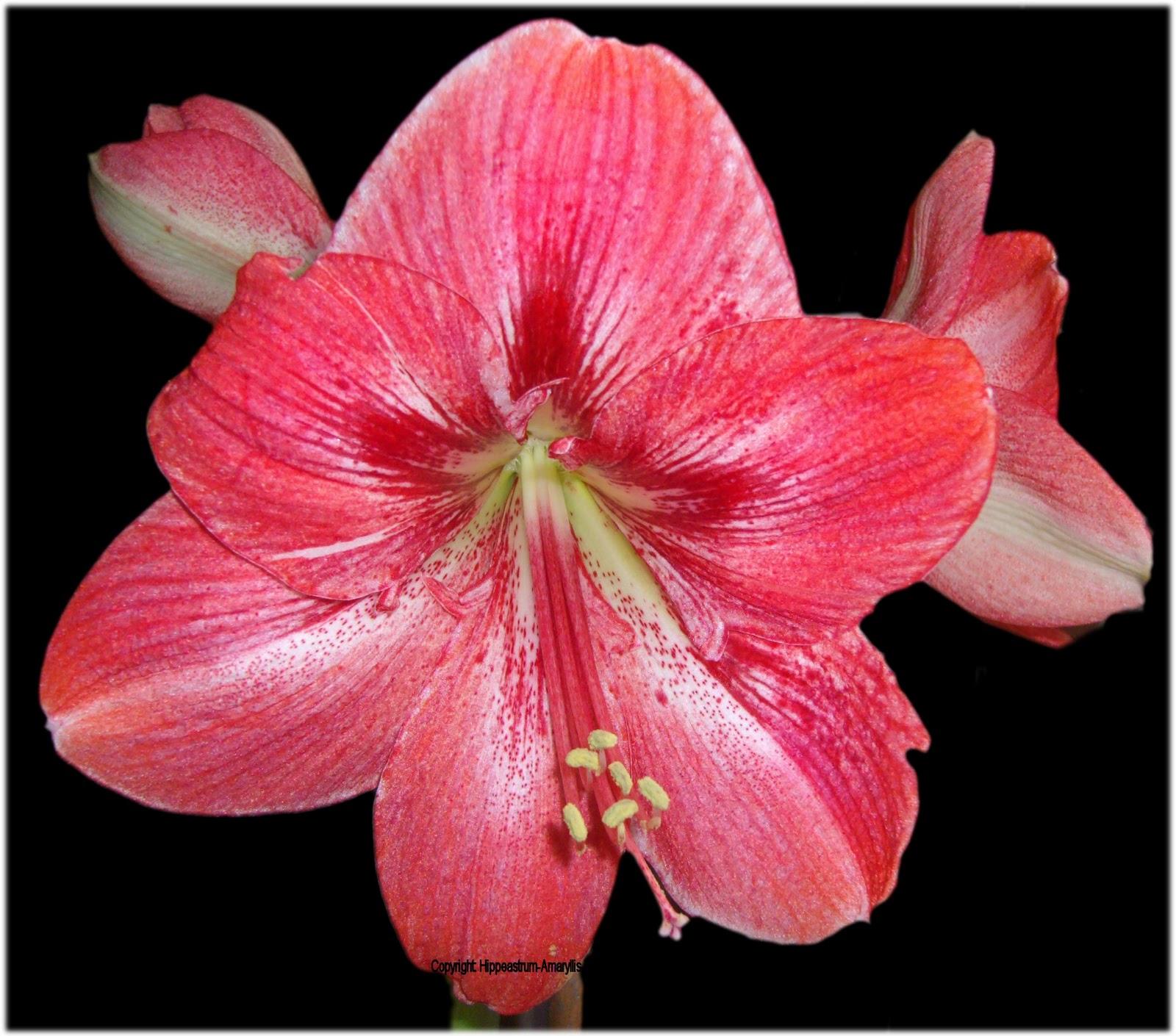 Hippeastrum amaryllis welt h 39 pink surprise 39 for Amaryllis sweet pink