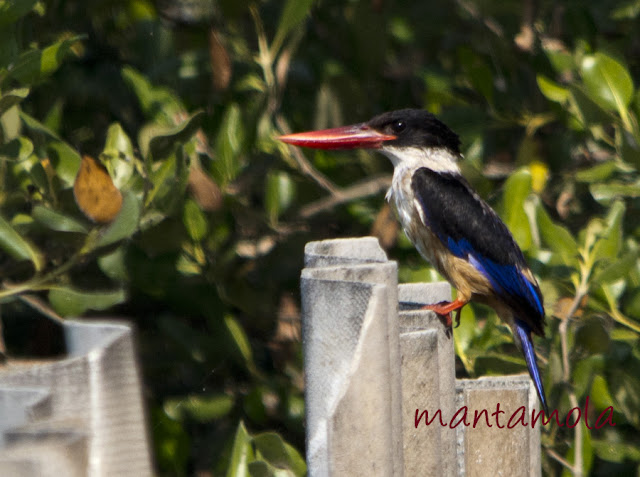 Thailand, Black-Capped kingfisher