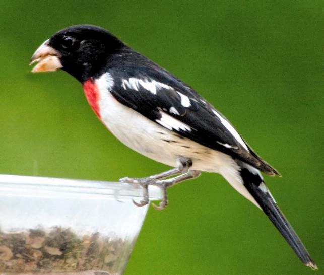http://2.bp.blogspot.com/-JJGo8l3HXzA/Ux97c0PUUXI/AAAAAAAALv8/KDB72sU8KTw/s1600/grosbeak+Rose-breasted+on+wild+birds+unlimited+dinner+bell+aspects+feeder+spring+red+black+white+bird.jpg