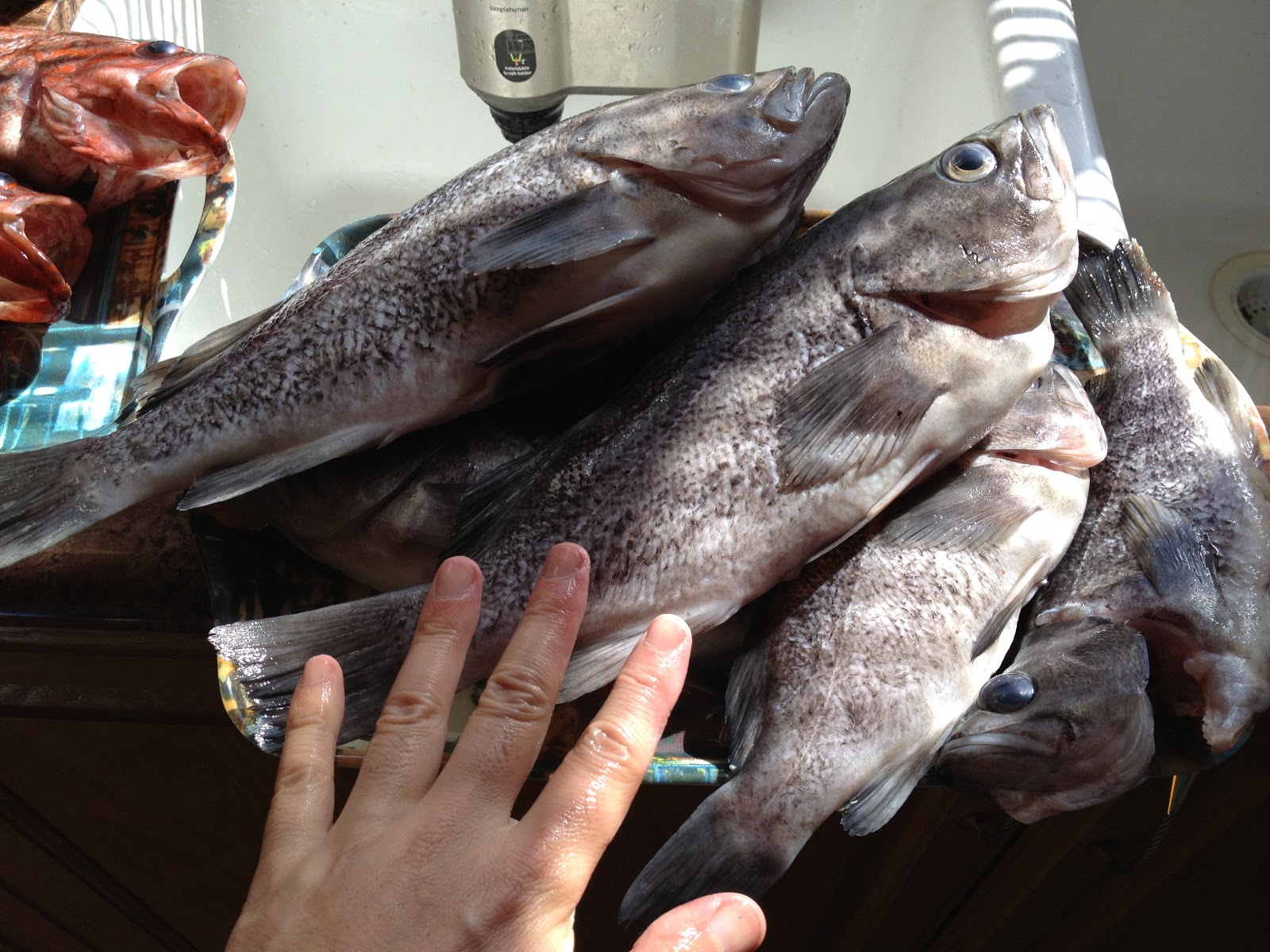 how to catch rockfish from shore