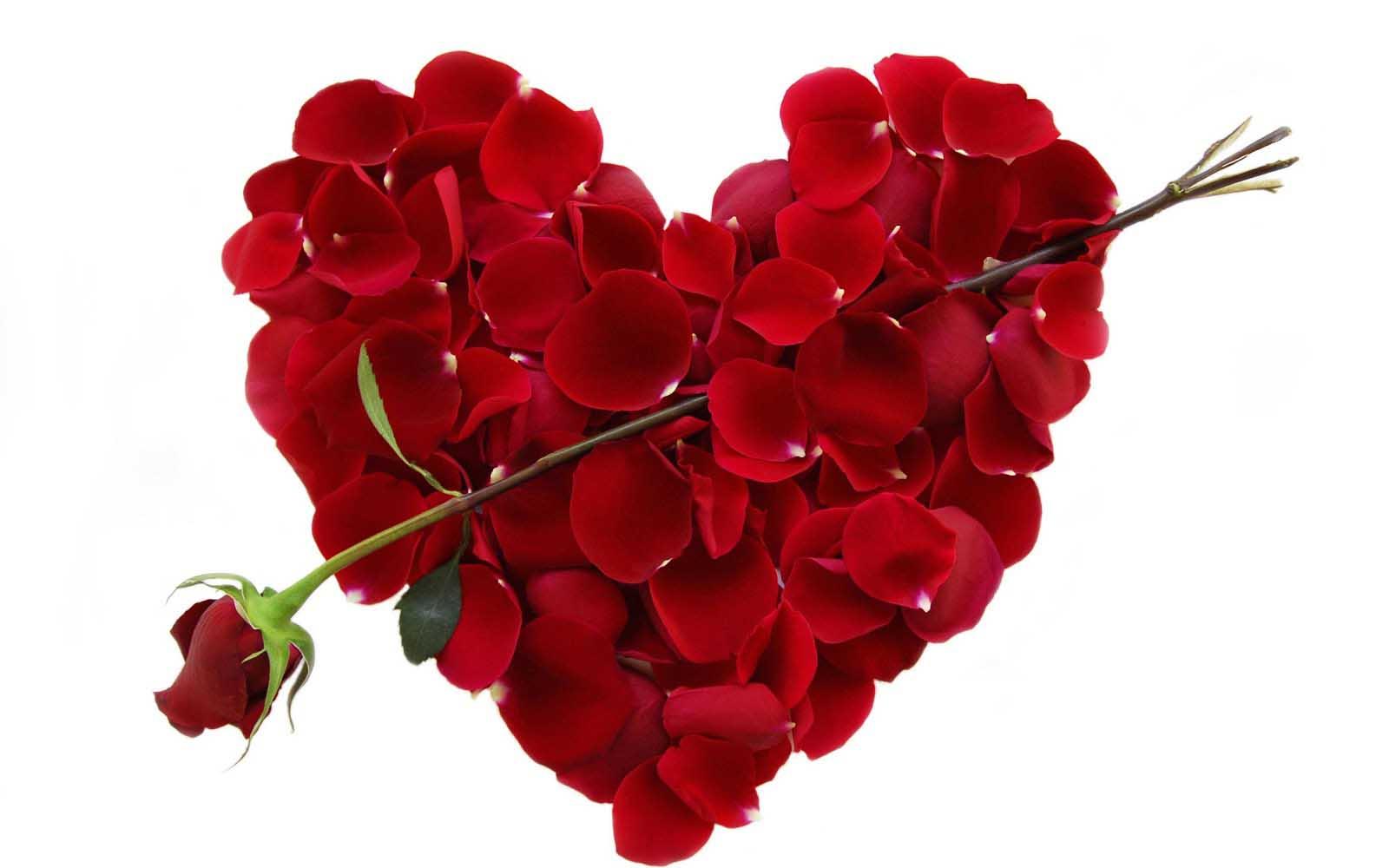 Valentine Rose HD Wallpaper