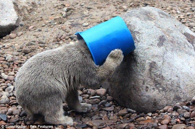 how to get a polarbear head mc