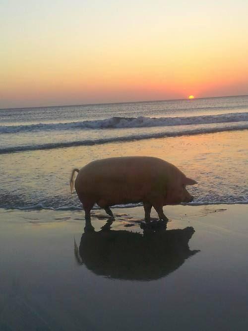 El sueño de todo cerdo boliviano
