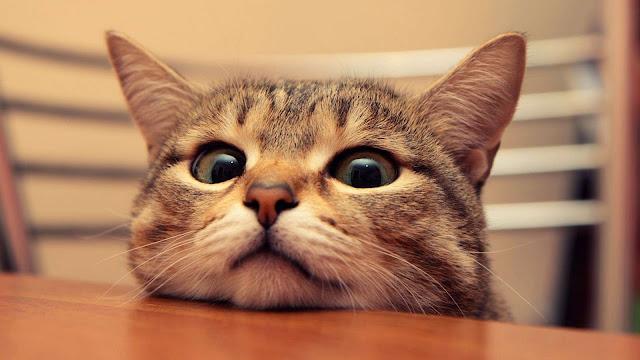 Cute Cat Desktop Background