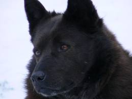 Schipperke The Dog Breeds