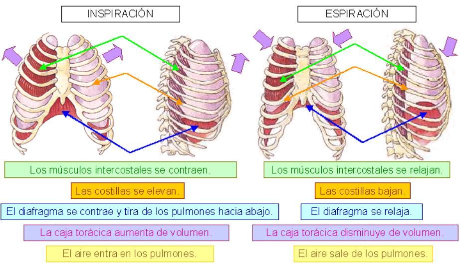 Fisiología: Tema 19. Anatomía funcional del aparato respiratorio