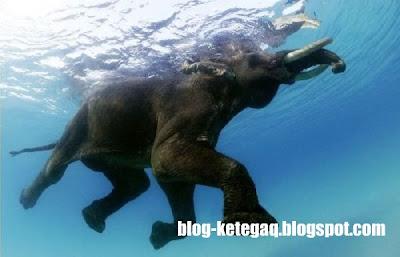 gajah berenang