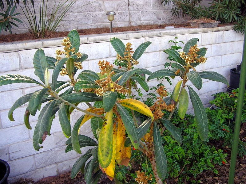Xtremehorticulture of the desert why are my leaves yellowing on loquat i did some research on loquat leaves turning yellow they suggested overwatering might be the problem i give it about 24 gals of water once a week mightylinksfo