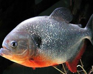 Gambar Ikan Bawal