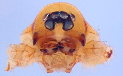 Espécie de aranha Predatoroonops