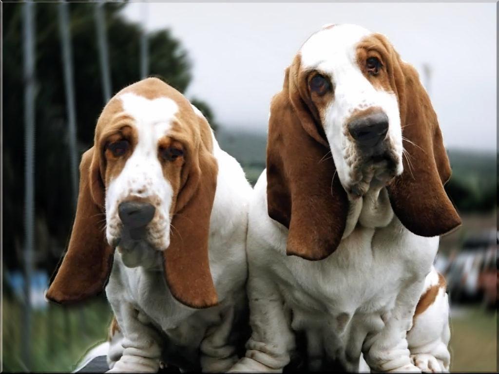 basset hound puppies wallpaper - photo #14
