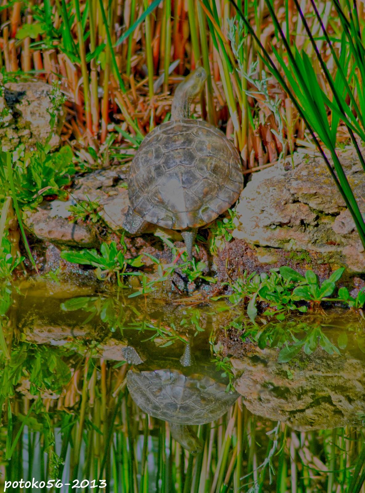 Tortuga tomando el sol reflejada en la laguna