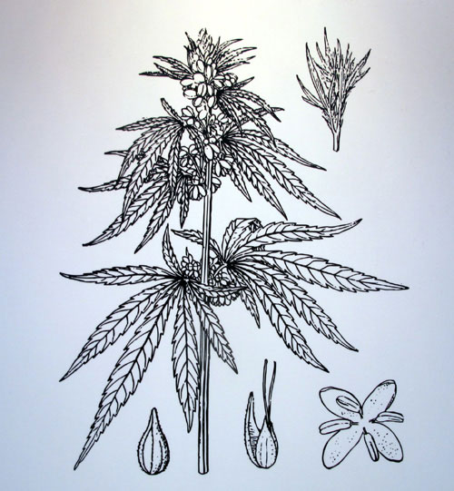Hemp plant