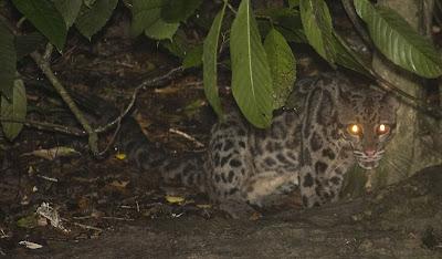 Foto Macan Dahan Kalimantan